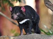 Endangered tasmanian devil. Tasmanian devil close up full frame, australia, exotic endangered mammal / marsupial stock image
