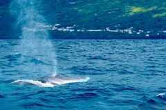 Fin whale Balaenoptera physalus near the volcanic coast of Pico royalty free stock images