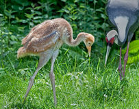 Endangered White-naped crane chick. Stock Photos