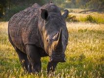 Endangered white rhino. The endangered white rhino, Kruger Park, South Africa Royalty Free Stock Image