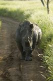 Endangered White Rhino in the middle of the road of Lewa Wildlife Conservancy, North Kenya, Africa Stock Photo