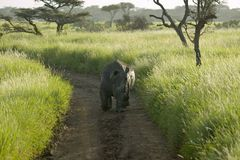 Endangered White Rhino in the middle of the road of Lewa Wildlife Conservancy, North Kenya, Africa Stock Photography