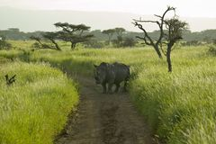 Endangered White Rhino in the middle of the road of Lewa Wildlife Conservancy, North Kenya, Africa Stock Images