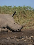 White Rhino. Endangered white rhino resting in Kruger park Royalty Free Stock Photo