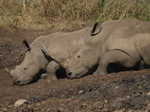White Rhino. Endangered white rhino resting next to water hole Royalty Free Stock Photo
