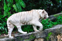 Endangered white tiger. Guarding its territory Royalty Free Stock Photo