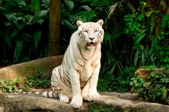 Endangered White Tiger Stock Photos