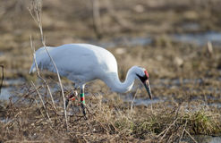 Endangered whooping crane Royalty Free Stock Photos