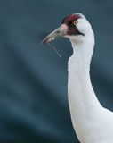 Endangered Whooping Crane, Grus americana Royalty Free Stock Photos