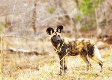 Endangered Wild Dog in South Africa. Critically endangered wild painted dog in Kruger National Park, South Africa Royalty Free Stock Photo