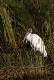 Endangered Wood Stork Royalty Free Stock Photo