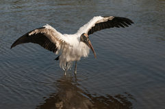 Endangered Wood Stork Stock Photo