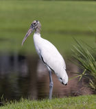 Endangered Wood Stork Royalty Free Stock Photos