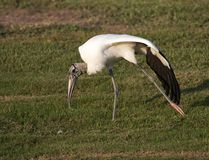Endangered Wood Stork Royalty Free Stock Image