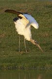 Endangered Wood Stork wing stretch Stock Photos