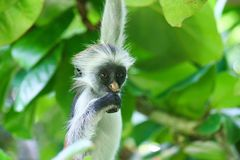 Endangered young red colobus monkey Piliocolobus, Procolobus kirkii hanging on a branch eating a leaf in the trees stock photography