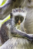 Endangered Zanzibar red colobus monkey (Procolobus kirkii), Joza Royalty Free Stock Photos