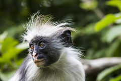Endangered Zanzibar red colobus monkey (Procolobus kirkii), Joza Royalty Free Stock Photo