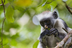Endangered Zanzibar red colobus monkey (Procolobus kirkii), Joza Stock Photo