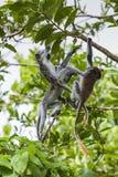 Endangered Zanzibar red colobus monkey (Procolobus kirkii), Joza Royalty Free Stock Photo