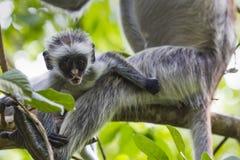 Endangered Zanzibar red colobus monkey (Procolobus kirkii), Joza Royalty Free Stock Images