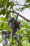 Endangered Zanzibar red colobus monkey (Procolobus kirkii), Joza Stock Image