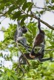 Endangered Zanzibar red colobus monkey (Procolobus kirkii), Joza Stock Images