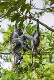 Endangered Zanzibar red colobus monkey (Procolobus kirkii), Joza Stock Photography
