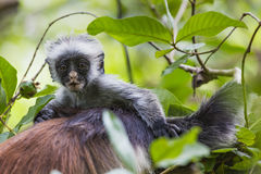 Endangered Zanzibar red colobus monkey (Procolobus kirkii), Joza Stock Image