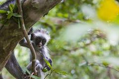 Endangered Zanzibar red colobus monkey (Procolobus kirkii), Joza Royalty Free Stock Photography