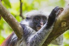 Endangered Zanzibar red colobus monkey (Procolobus kirkii), Joza Royalty Free Stock Image