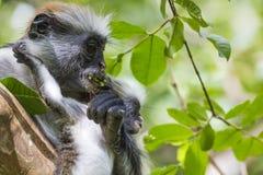 Endangered Zanzibar red colobus monkey (Procolobus kirkii), Joza Stock Photos