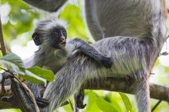 Endangered Zanzibar red colobus monkey (Procolobus kirkii), Joza Royalty Free Stock Photos