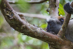 Endangered Zanzibar red colobus monkey (Procolobus kirkii), Joza Stock Photos