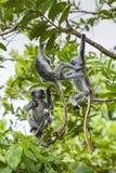 Endangered Zanzibar red colobus monkey (Procolobus kirkii), Joza Stock Photography