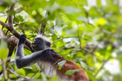Endangered Zanzibar red colobus monkey Procolobus kirkii, Joza Stock Photos