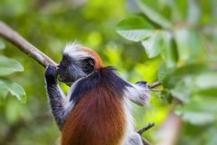 Endangered Zanzibar red colobus monkey Procolobus kirkii, Joza Royalty Free Stock Photos