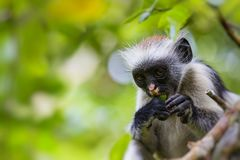 Endangered Zanzibar red colobus monkey Procolobus kirkii, Joza Stock Photo