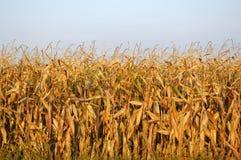 Ende-von-Jahreszeit Feld-Mais Stockfotos