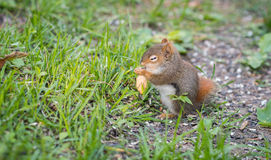 Endearing baby red squirrel with one eye still just opening, sits and eats sunflower seeds on the ground. Stock Photo