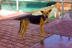 An endearing dog at the grenadines wharf. A cute canine waiting for the ferry to arrive on the main dock at kingstown, st. vincent Stock Images