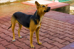 An endearing dog at the grenadines wharf. A female pet waiting for the arrival of the ferry at kingstown's main dock Stock Images