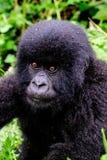 Face of a baby mountain gorilla. Endearing face of a baby mountain gorilla Stock Images