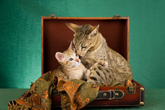 Endearing moment between mom and kitten. Endearing moment between Oriental mother cat and kitten, sitting in suitcase on green background Stock Image