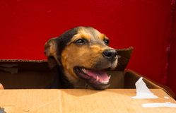 An endearing puppy traveling to a new home in a cardboard box. A cute little dog placed in a box for transport on a ferry in the windward islands Stock Photos