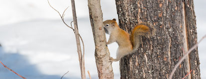 Endearing Red squirrel, licking sap from a Northern Ontario pine tree. Royalty Free Stock Photography