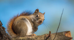 Endearing, springtime Red squirrel, close up and looking at camera Royalty Free Stock Photo