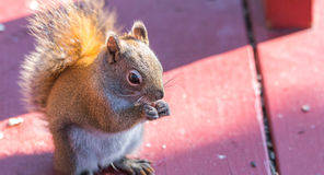 Endearing, springtime Red squirrel, close up,  sitting up on a deck, eating seeds and feeding. Stock Photography