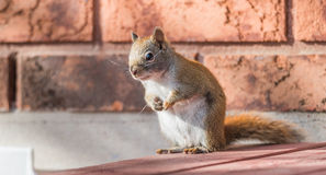 Endearing, springtime Red squirrel, close up,  sitting up on a deck, paws tucked to chest. Stock Photography