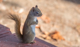 Endearing, springtime Red squirrel, close up,  sitting up on a deck, paws tucked to chest. Stock Images